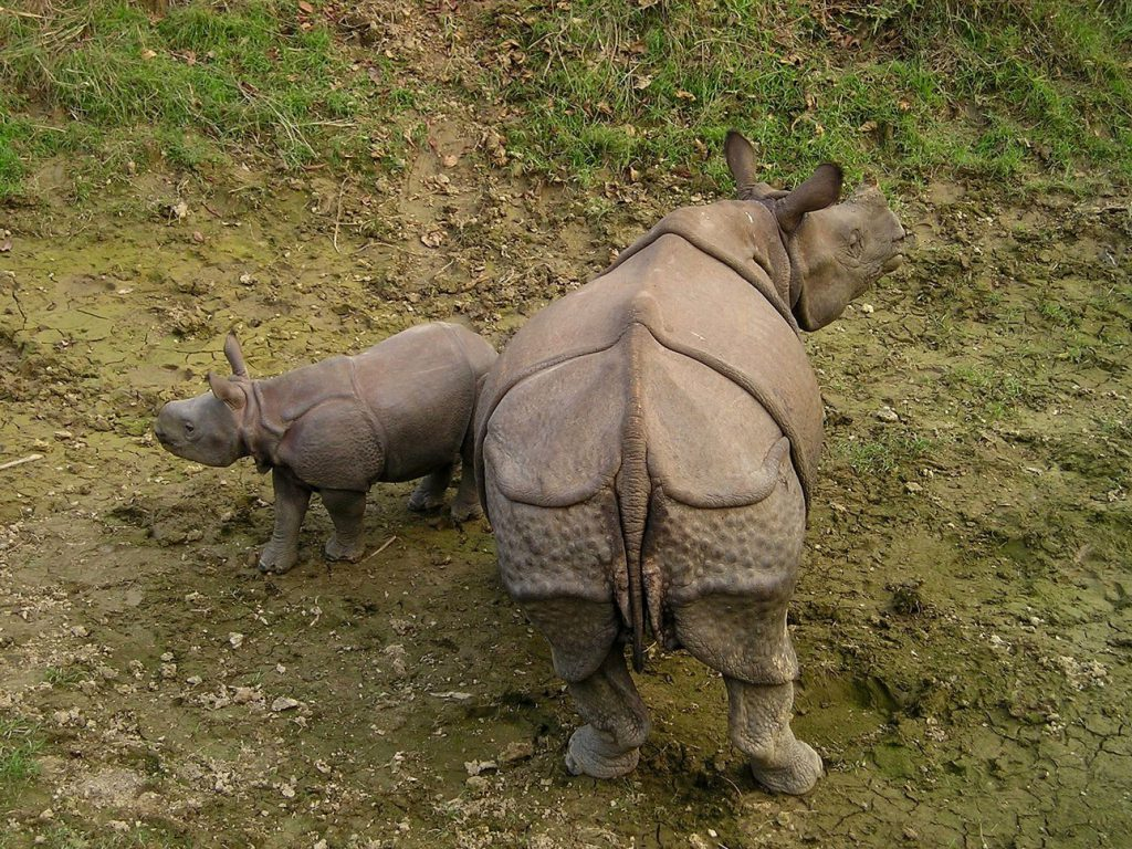 Mother rhino and its baby at chitwan national park